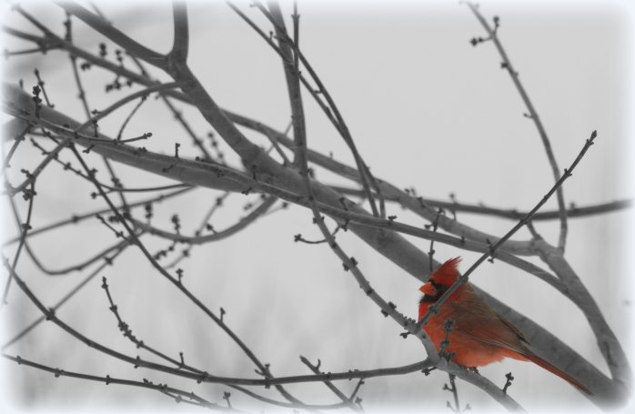 snow-bird