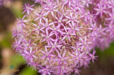 Purple Flowers (1 of 1)